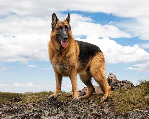Source: http://dogtime.com/dog-breeds/german-shepherd-dog#/slide/1