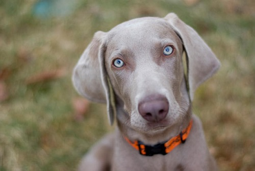 Source: http://mentalfloss.com/article/73377/11-noble-facts-about-weimaraners